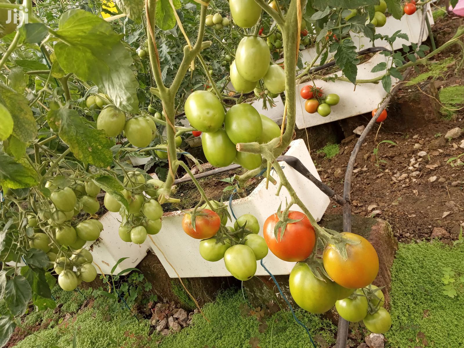 Zara F1 Tomato Seedlings   Feeds, Supplements & Seeds for sale in Juja, Kiambu, Kenya