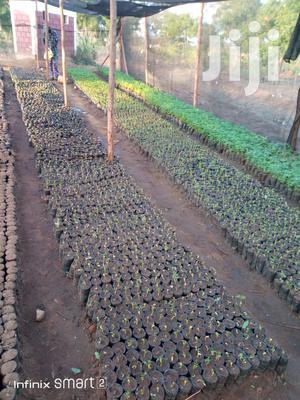 Melia Tree Seedlings Mukau | Feeds, Supplements & Seeds for sale in Makueni, Kikumbulyu North