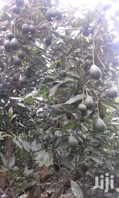 Archive: Mugendi Fruit Seedlings