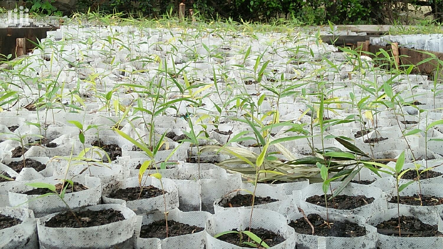 Archive: Bamboo Plant Seedlings