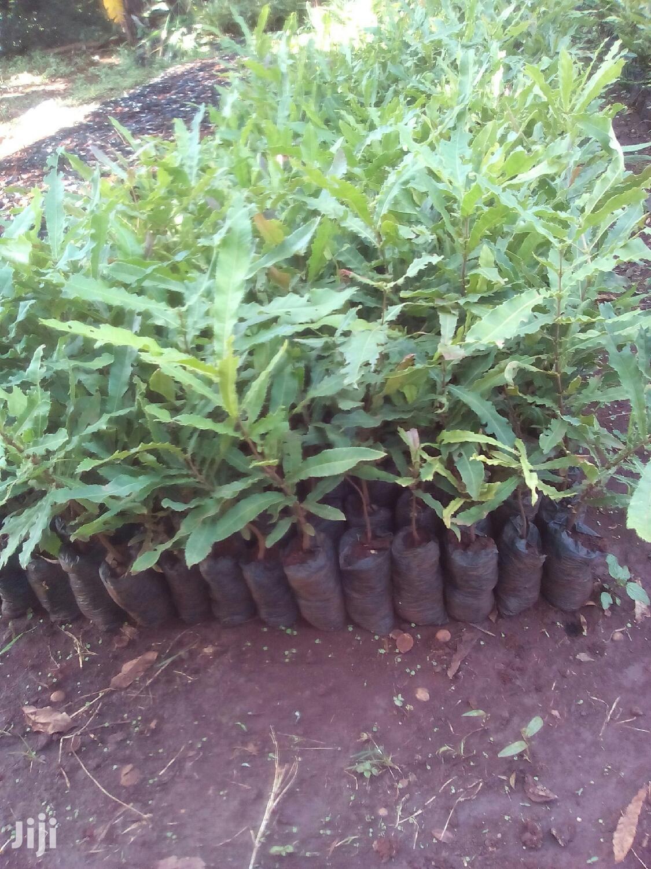 Archive: Mugendi Fruit Seedlings All Varriety