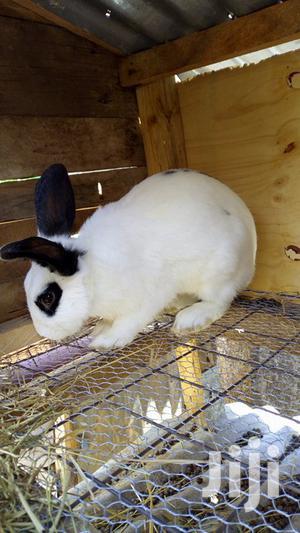 Breeder Rabbits for Sale   Livestock & Poultry for sale in Nairobi, Kasarani