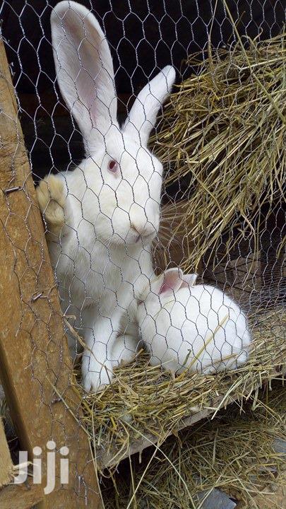 Archive: Breeder Rabbits for Sale