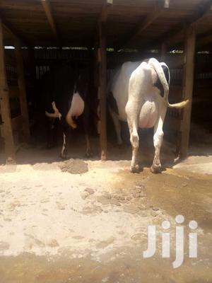 Pure High Breeds Dairy Cows.   Livestock & Poultry for sale in Kiambu, Githunguri