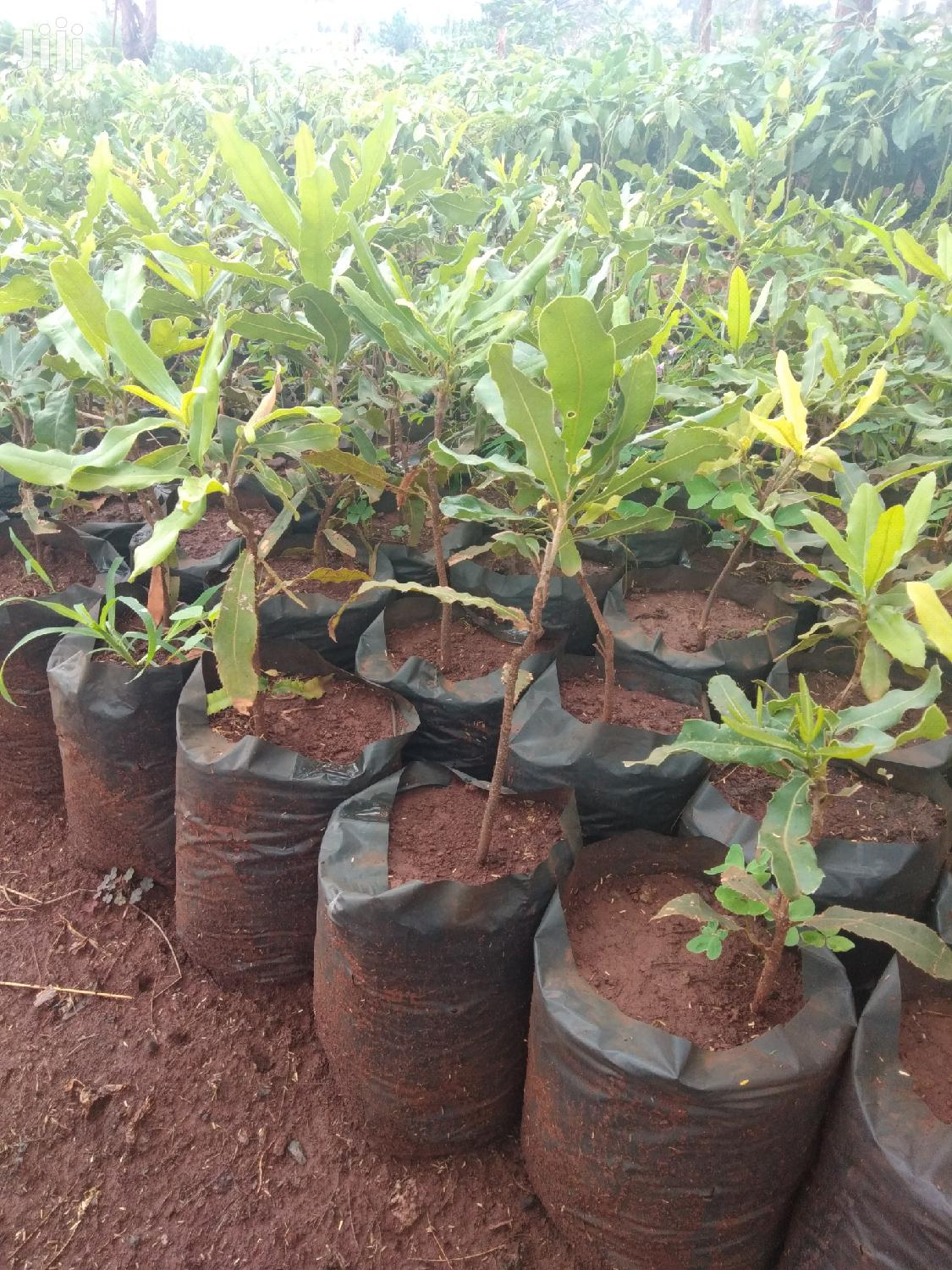 Macadamia Seedlings Seller | Feeds, Supplements & Seeds for sale in Township G, Murang'a, Kenya