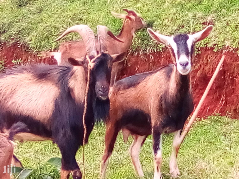Pedigree Dairy Goats