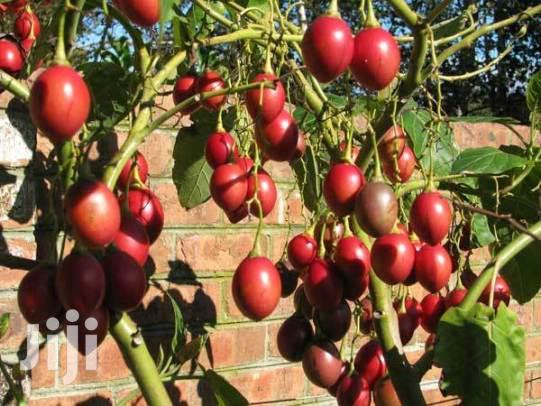 Muthakwa Tree Seeds Fr Grafting Tree Tomatos