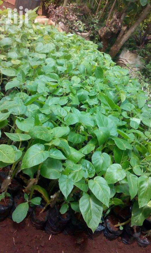 Muthakwa Tree Seeds Fr Grafting Tree Tomatos   Feeds, Supplements & Seeds for sale in Nairobi Central, Nairobi, Kenya