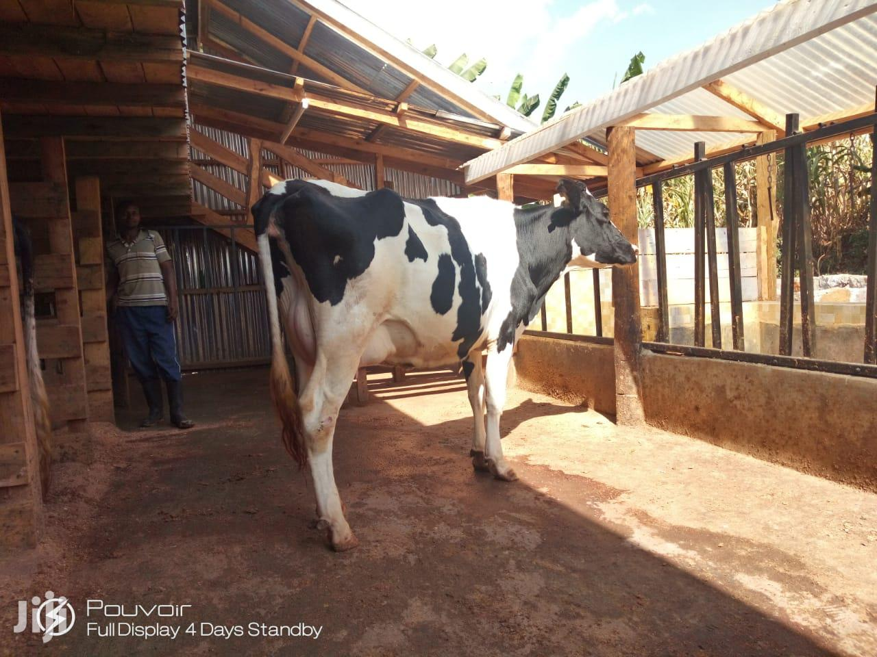 Cows /Cattle For Sale | Livestock & Poultry for sale in Githunguri, Kiambu, Kenya
