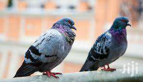 Pigeon And Doves