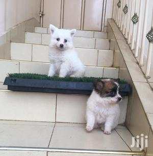 Baby Male Purebred Chihuahua   Dogs & Puppies for sale in Kisumu, Kisumu Central