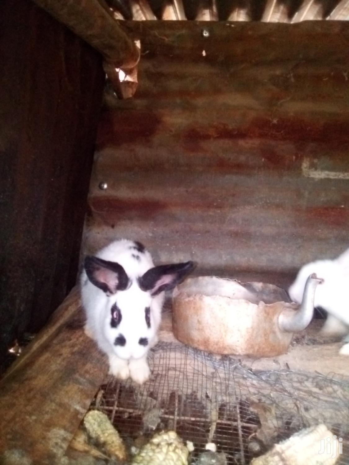 Archive: Young and Mature Rabbits for Sale