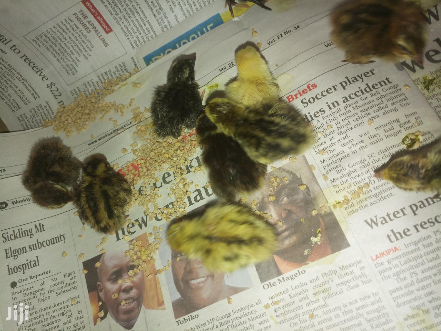 Archive: Quail Chicks Mature Quails