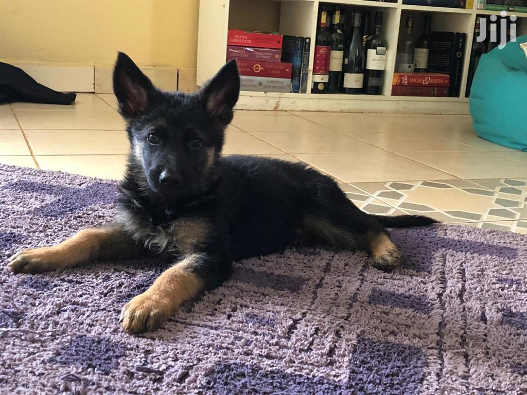 Baby Male Purebred German Shepherd Dog