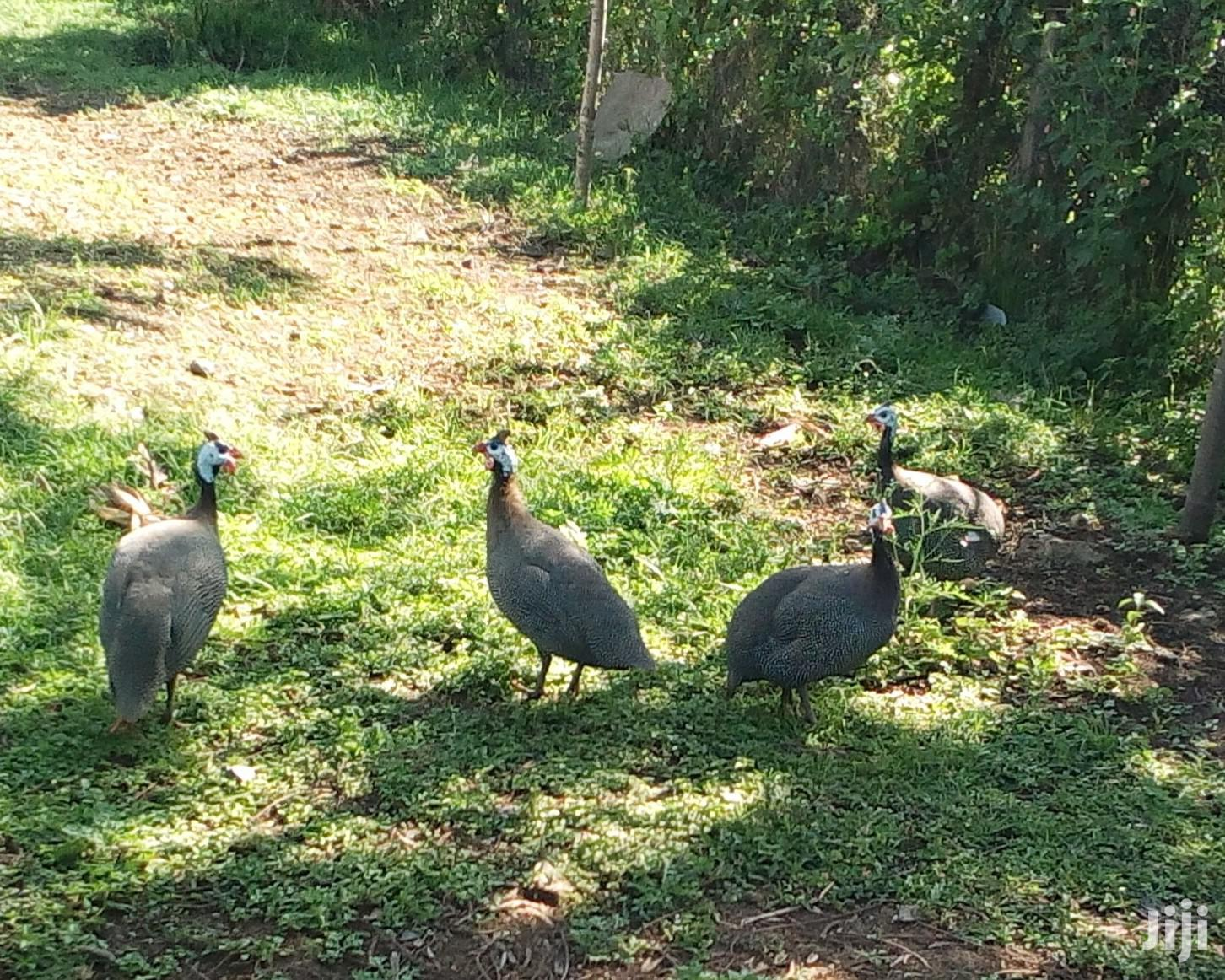Mature Guinea Fowls (Dotted) Pair | Livestock & Poultry for sale in Central Kisumu, Kisumu, Kenya