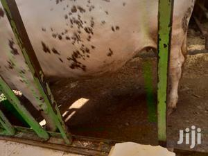 The Best Cow   Livestock & Poultry for sale in Kiambu, Githunguri