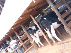 Holstein Breeds | Livestock & Poultry for sale in Kiambu, Githunguri