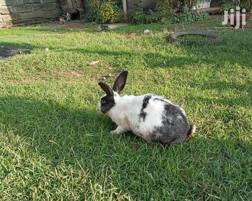 Archive: Rabbits Selling In Nakuru