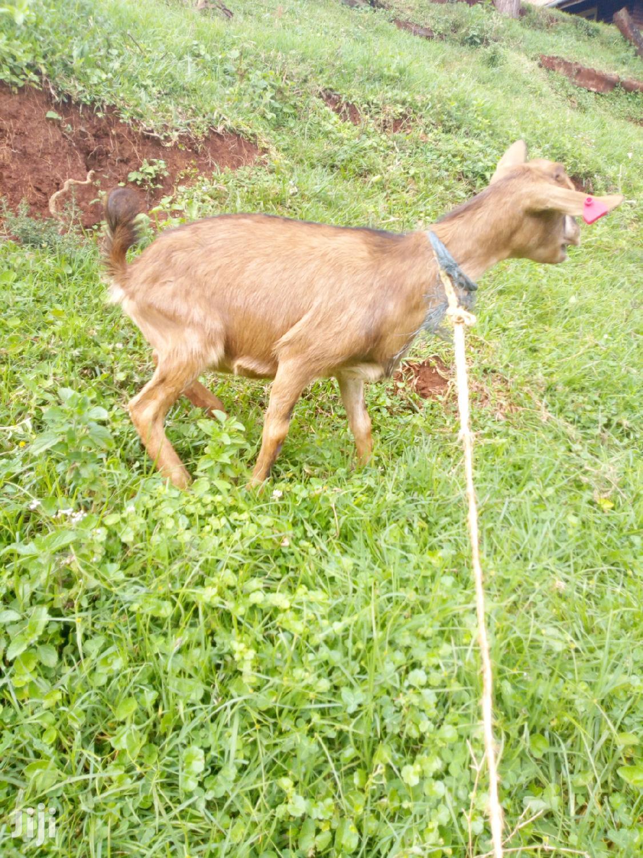 Pedigree Dairy Goats | Livestock & Poultry for sale in Nairobi Central, Nairobi, Kenya
