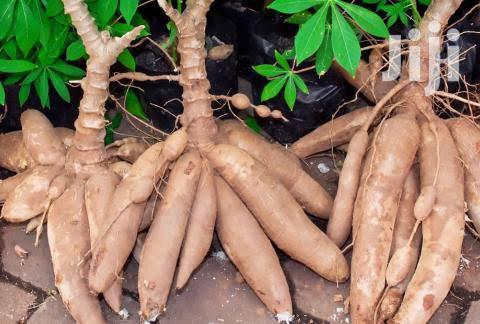 Cassava For Sale