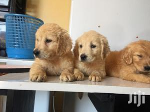 Baby Male Purebred Golden Retriever   Dogs & Puppies for sale in Nairobi, Parklands/Highridge
