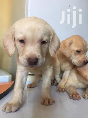 Baby Female Purebred Labrador Retriever | Dogs & Puppies for sale in Nairobi, Parklands/Highridge