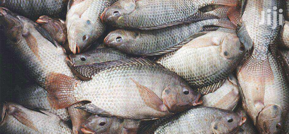 Tilapia Fingerlings On Sale