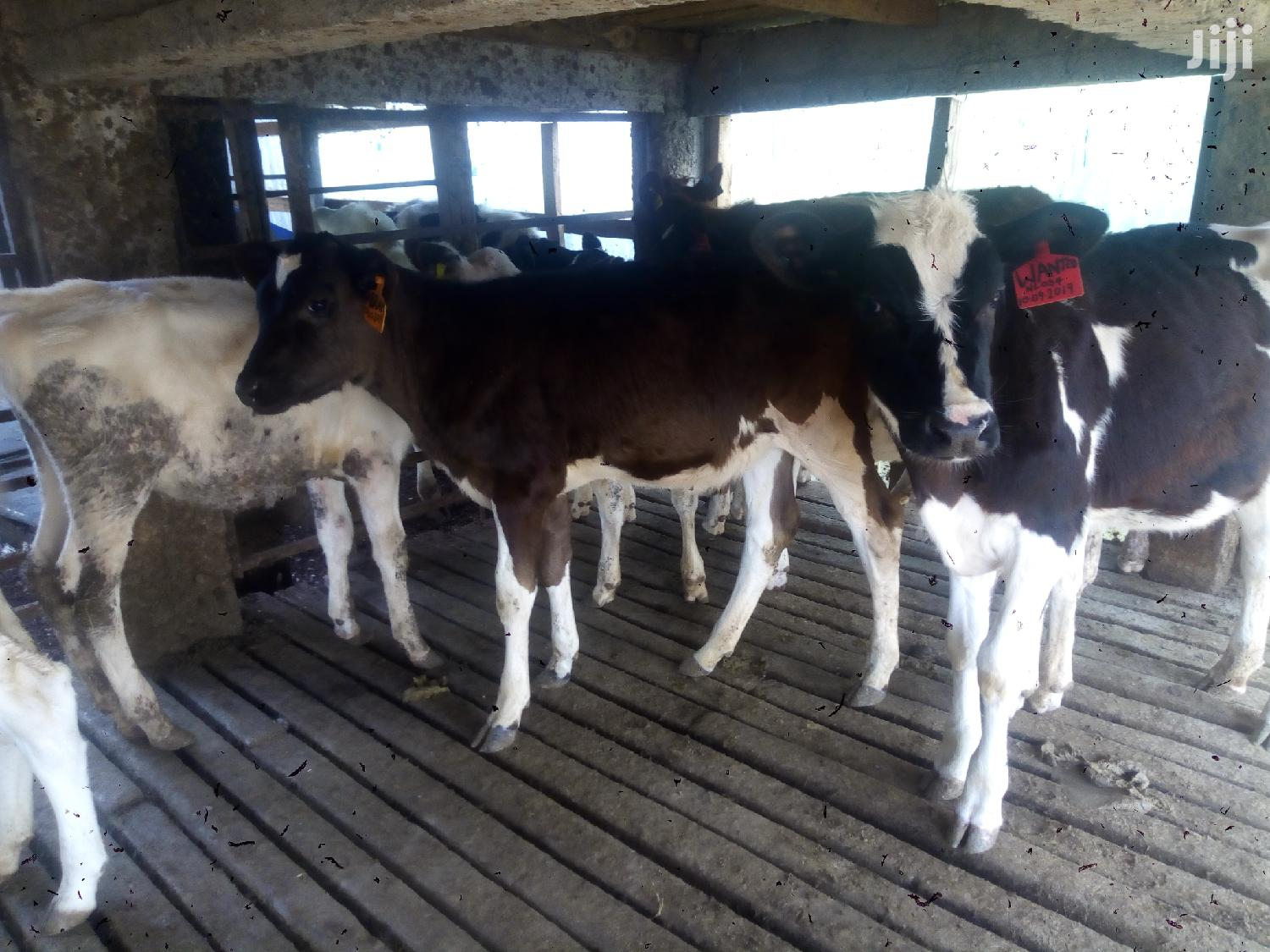Cows/Cattle For Sale | Livestock & Poultry for sale in Githunguri, Kiambu, Kenya