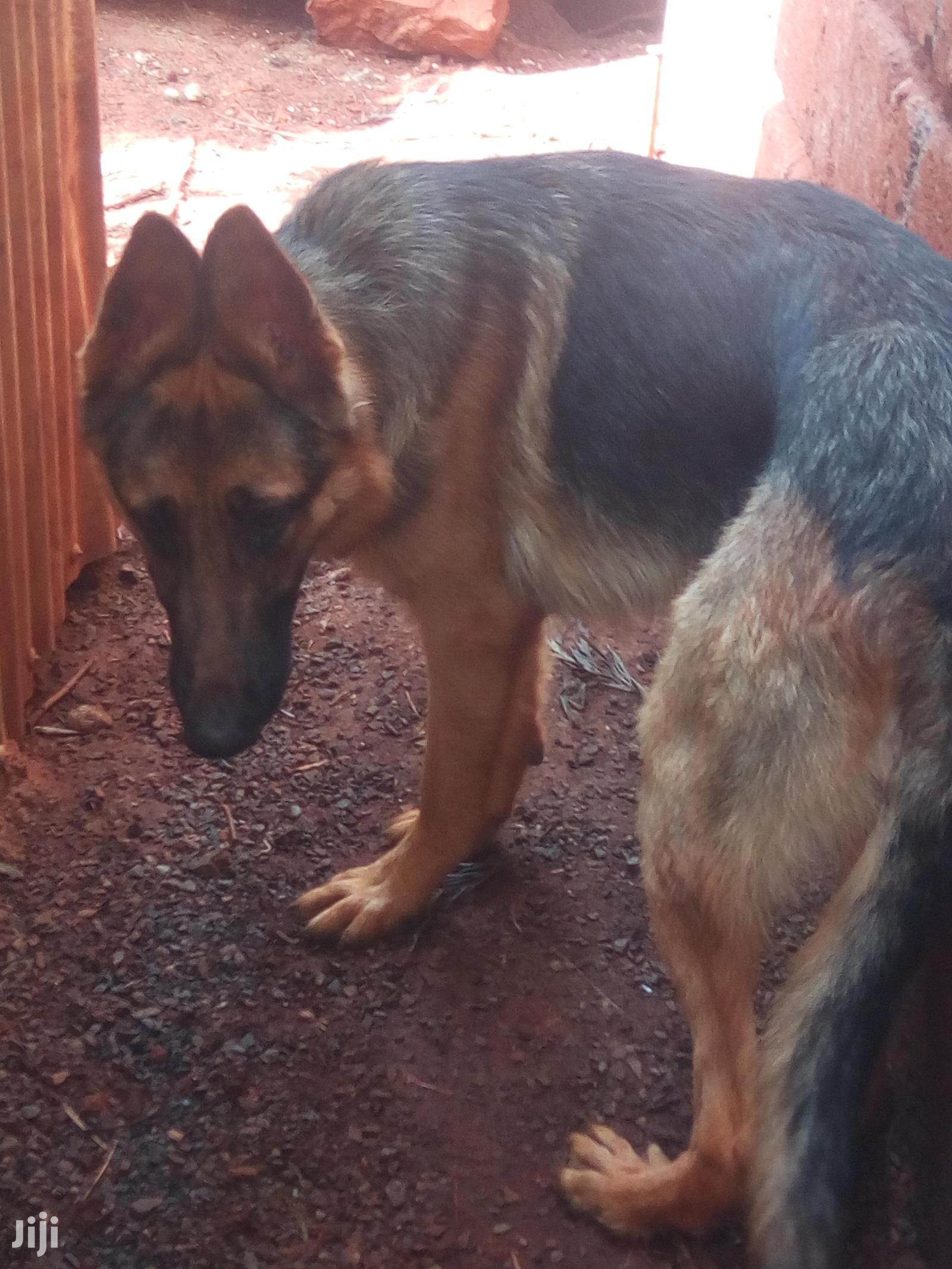 6-12 Month Female Purebred German Shepherd | Dogs & Puppies for sale in Nairobi Central, Nairobi, Kenya