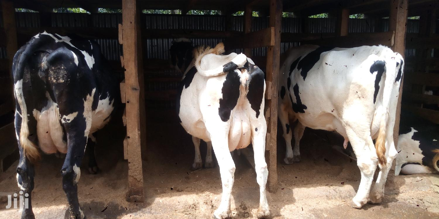 Cows/Cattle For Sale