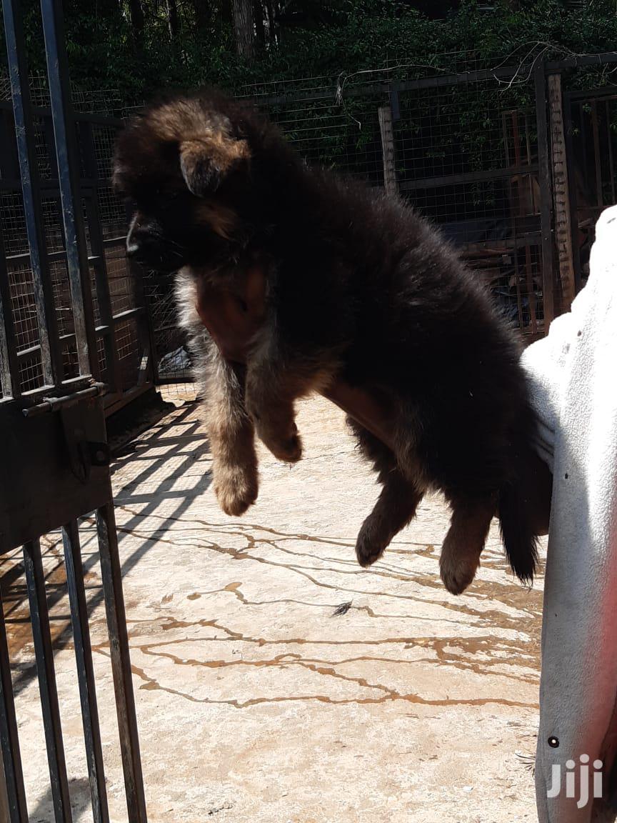 Baby Female Purebred German Shepherd Dog