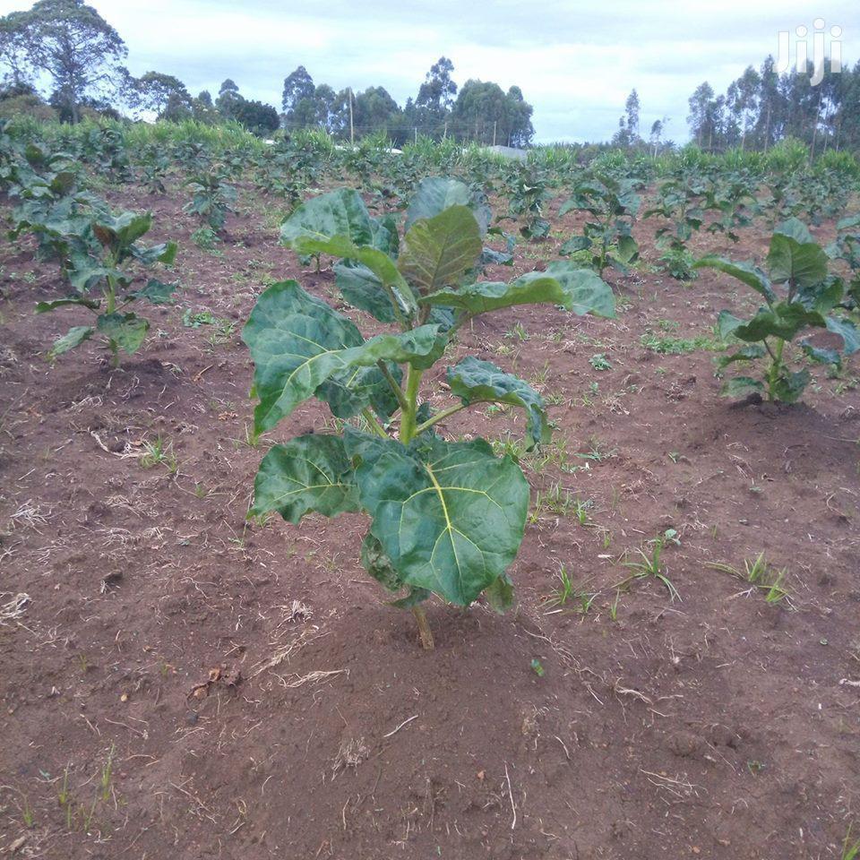 GET RICH Thru Grafted Tree Tomato (Tamarillo) Farming Seed Now-kes 999