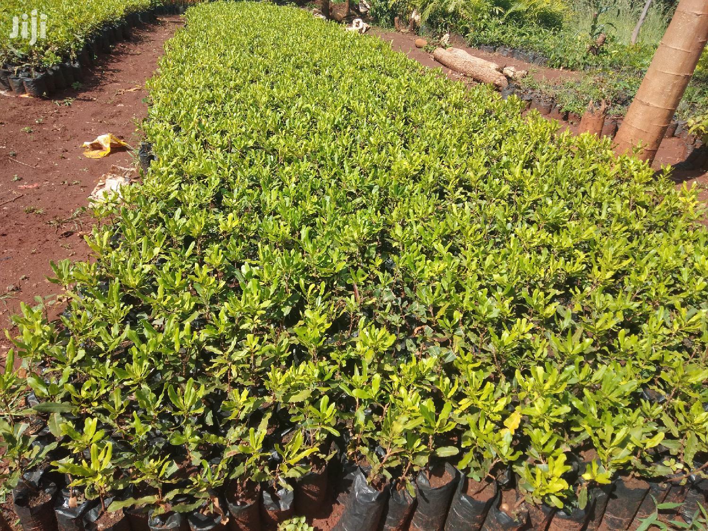 Macadamia Seedlings Seller