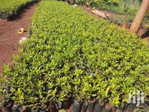 Macadamia Seedlings Seller | Feeds, Supplements & Seeds for sale in Murang'a, Township G