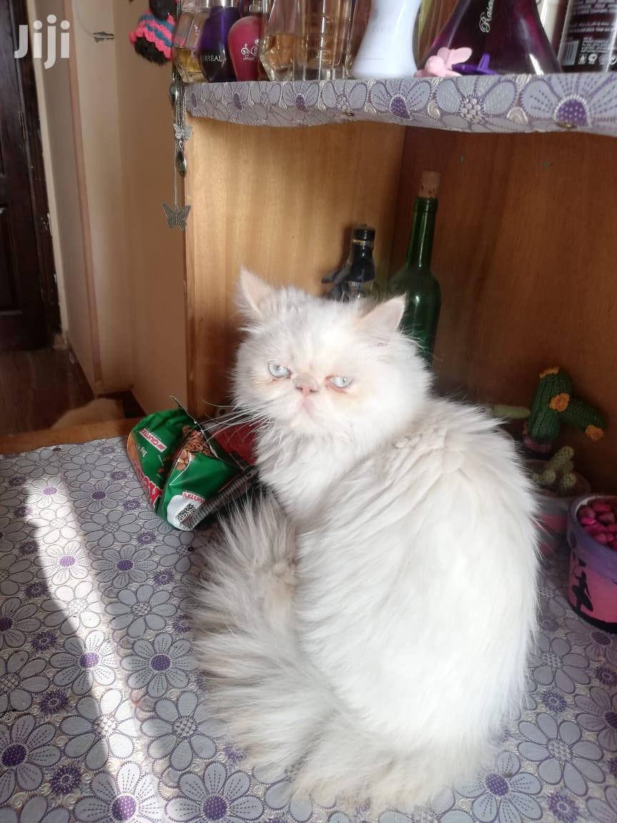 Senior Male Purebred Persian   Cats & Kittens for sale in Nairobi Central, Nairobi, Kenya
