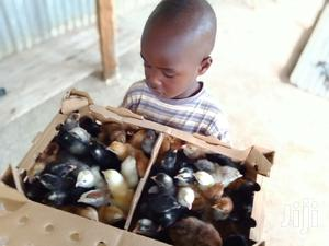 Day Old Chicks | Livestock & Poultry for sale in Kisumu Central, Kondele