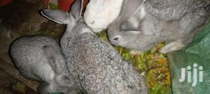 Rabbit New Zealand White and Grey Chinchilla   Livestock & Poultry for sale in Nairobi, Nairobi Central