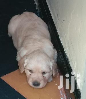 Young Female Purebred Golden Retriever   Dogs & Puppies for sale in Nairobi, Nairobi Central