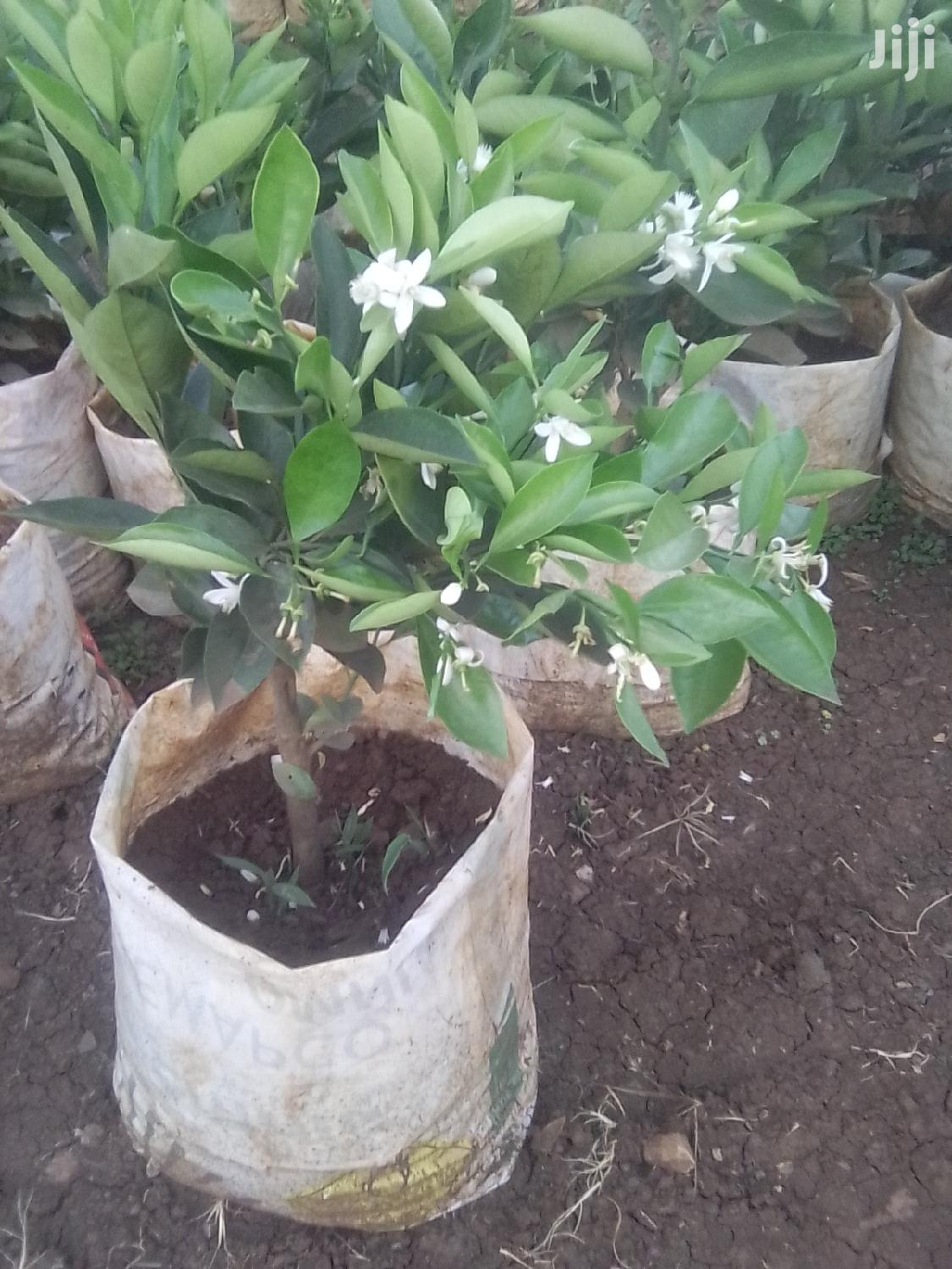 Archive: Orange Seedlings Grafted And With Fruits