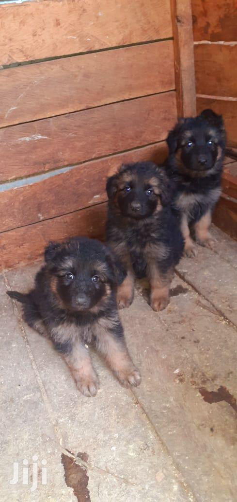 Archive: 1-3 Month Female Purebred German Shepherd
