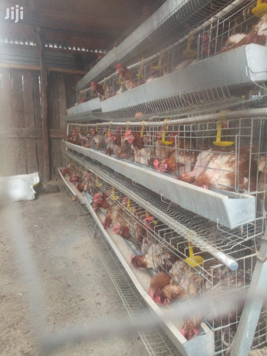 Chicken Cages And Equipments