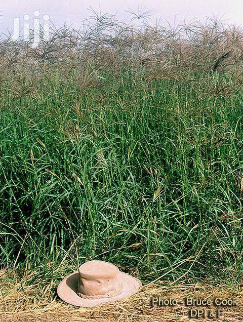Boma Rhodes Grass Seeds