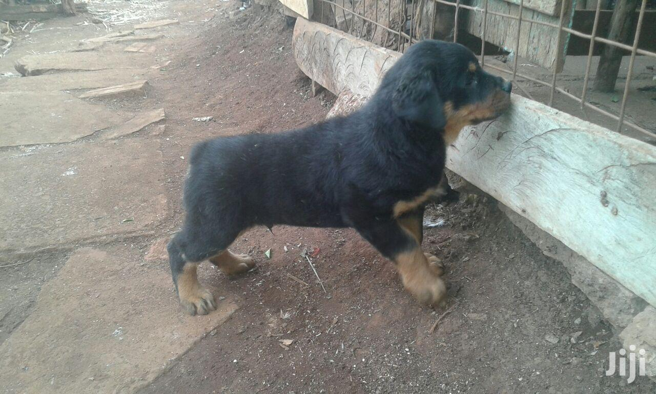 Young Female Purebred Rottweiler   Dogs & Puppies for sale in Nairobi Central, Nairobi, Kenya
