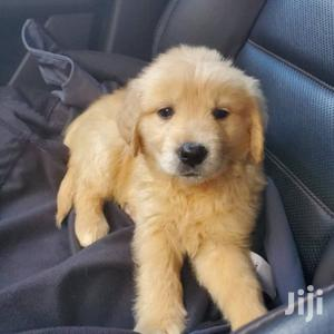 Baby Male Purebred Golden Retriever   Dogs & Puppies for sale in Nairobi, Kahawa