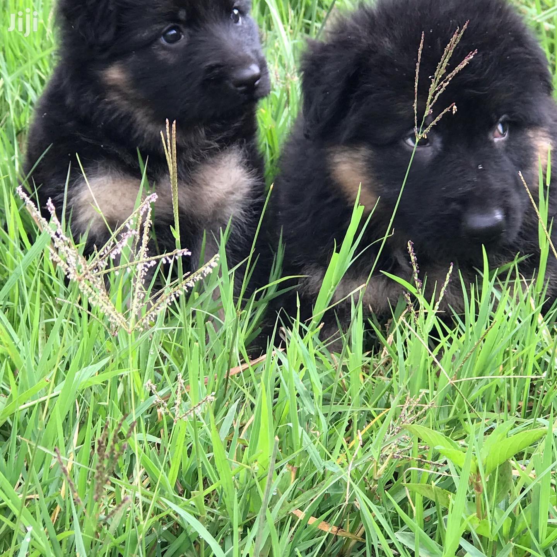 Baby Male Purebred German Shepherd Dog | Dogs & Puppies for sale in Kahawa, Nairobi, Kenya