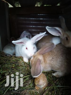Selling Rabbits All Ages   Livestock & Poultry for sale in Kiambu, Ruiru