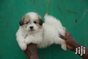 Young Female Purebred Chihuahua   Dogs & Puppies for sale in Nairobi, Westlands