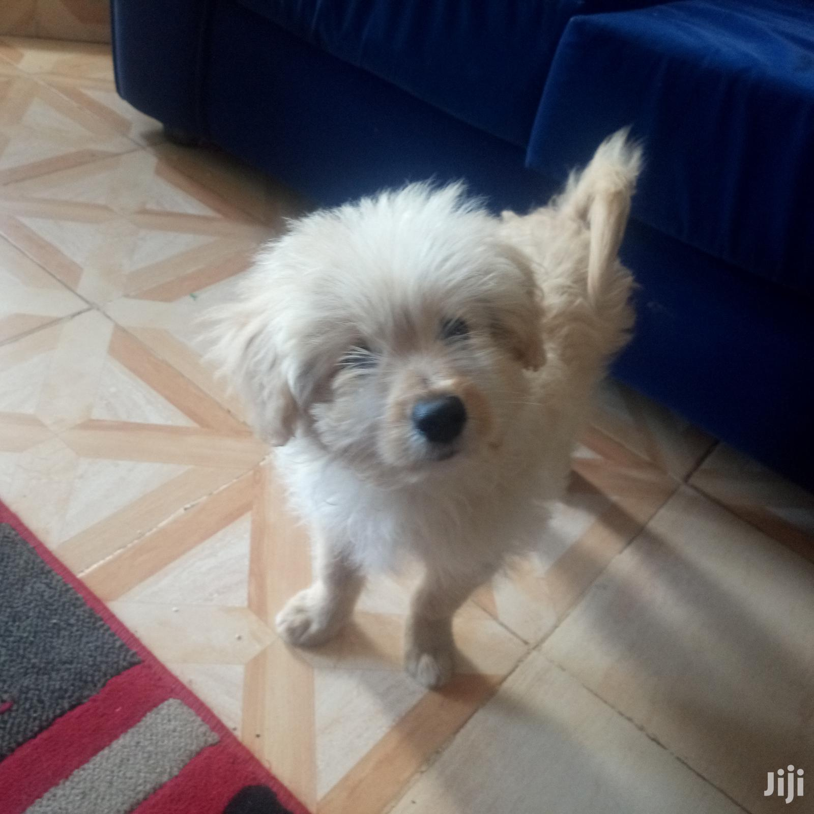 Archive: 6-12 Month Male Purebred Maltese