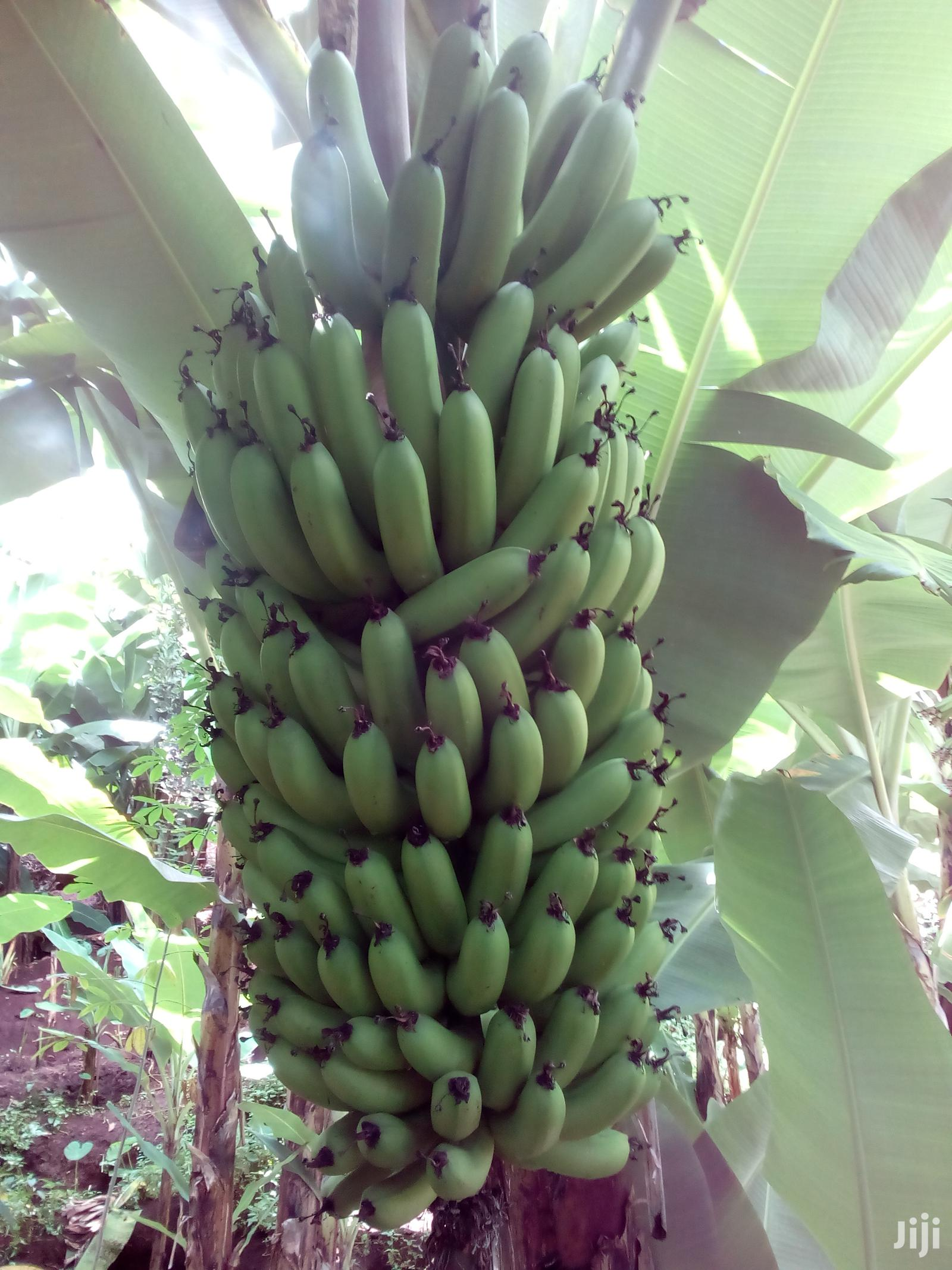 Archive: Green Banana