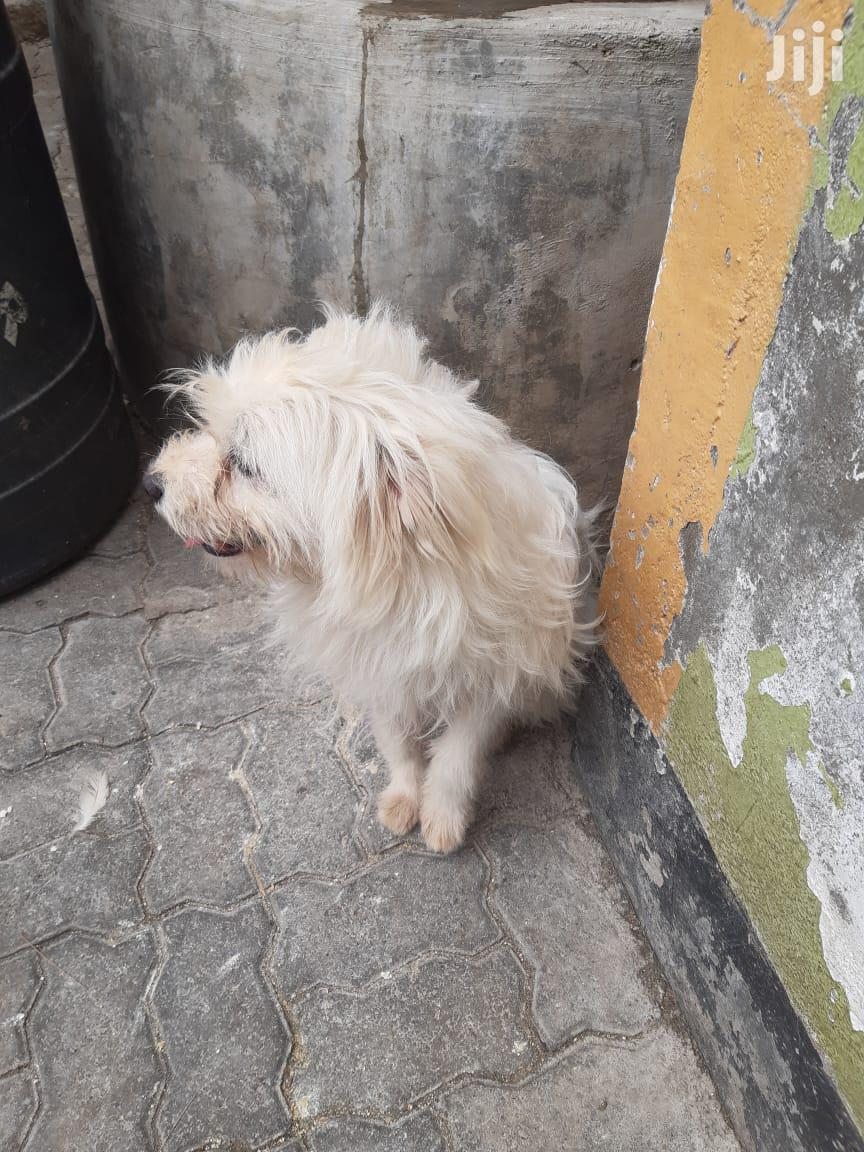 Archive: 1 year & above Male Mixed Breed Japanese Spitz